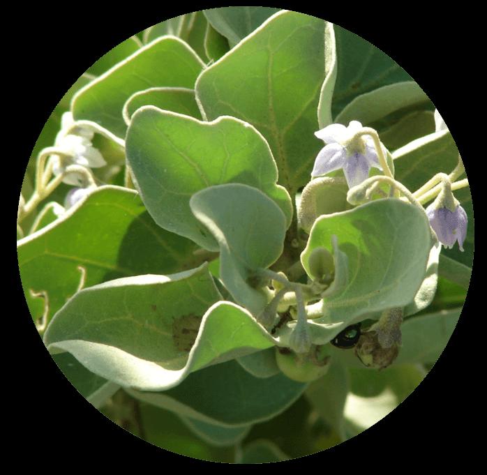 Simons Bee Balm plants